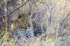 Leopard with his kill under a tree Stock Photos