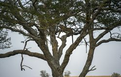 Leopard hoch oben im Baum, nach links schauend, mit den baumelnden Beinen stockfoto