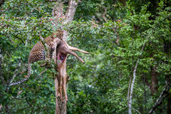 Leopard holding its kill on a tree Royalty Free Stock Images