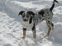 Leopard-Hund Louisiana-Catahoula Stockfotos