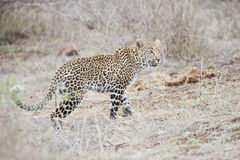 Leopard on the hunt, South Africa Royalty Free Stock Image