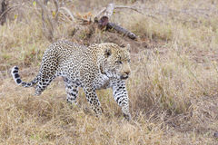 Leopard on the hunt in South Africa Royalty Free Stock Photography