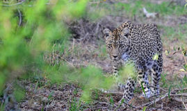 Leopard on the Hunt Royalty Free Stock Images