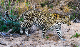 Leopard on the Hunt Stock Image