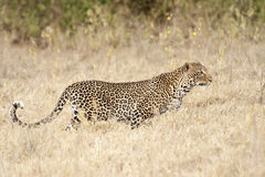 Leopard hunting Stock Photo