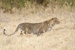 Leopard hunting. African leopard (Panthera Pardus Pardus)  stalking in savannah grass Stock Photo