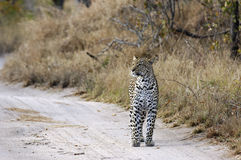A leopard hunting Royalty Free Stock Images