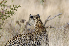 A leopard hunting. A big male leopard hunting in the Kruger National Park. South Africa stock photos