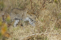 A leopard hunting Royalty Free Stock Photography