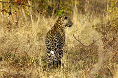 Leopard hunting Stock Images
