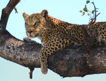 Leopard hunting. A female leopard watches looks for prey form a tree branch in Botsawna's Okavango Delta Royalty Free Stock Images