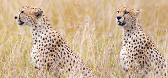 Leopard on hunting. A series of shots Royalty Free Stock Images