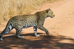 Leopard Hunting. Leopard out hunting in the planes of Africa Stock Images
