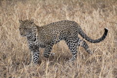 Leopard hunting in the grassland. Serengeti savannah Royalty Free Stock Photo