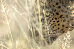 Leopard hunting. Leopard hunting in long grass Royalty Free Stock Photos