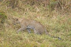 Leopard. Hunting Leopard , Masai Mara National Reserve, Kenya, Eastern Africa Royalty Free Stock Photo