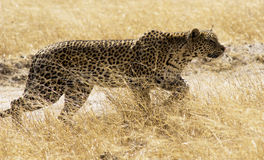 Leopard 1. Leopard in hunting mode , Savuti , Botswana Royalty Free Stock Photography