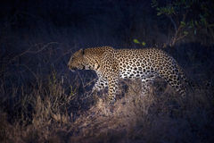 Leopard hunting at night 2. This leopard was seen during a night game drive in the Kruger National Park, South Africa Royalty Free Stock Image