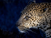 Leopard hunting at night Stock Photos