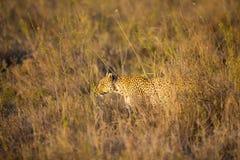 Leopard hunting in Serengeti Stock Photo