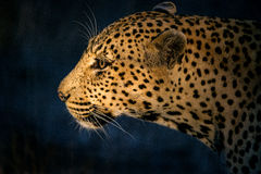 Leopard hunting 2. This leopard was seen during a night game drive in the Kruger National Park, South Africa. He was so intent on looking for his prey that he Stock Photos