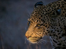 Leopard hunting Stock Photography