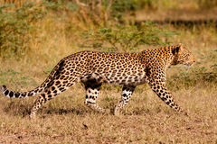 Leopard hunting in the wild Royalty Free Stock Images