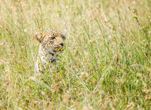 Leopard is hunting in the wild Royalty Free Stock Images