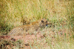 Leopard is hunting in the wild Royalty Free Stock Photography