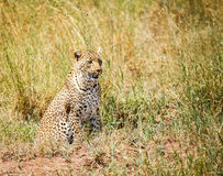 Leopard is hunting in the wild Royalty Free Stock Image