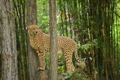 Leopard i Chiangmai nattsafari royaltyfri fotografi