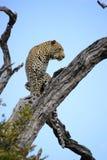 Leopard i dött träd Arkivfoton
