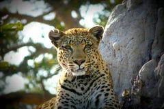 Leopard i Botswana. Arkivfoto