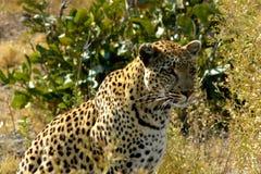 Leopard i Botswana. Royaltyfria Foton