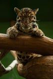 Leopard i den Praha zoo Arkivbild