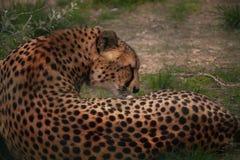 Leopard i deras naturliga livsmiljö i den afrikanska savannahen royaltyfri bild