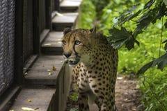 Leopard i en kuguarbur Royaltyfria Foton