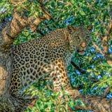 Leopard i en tree Fotografering för Bildbyråer