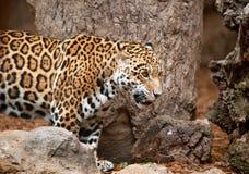 Leopard i en zoo Loro Parque Arkivfoton