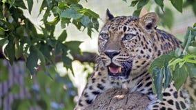 Leopard i ett träd Arkivfoton