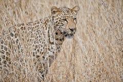 Leopard i gräs Sydafrika arkivfoto
