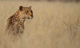 Leopard i högväxt gräs Arkivbild