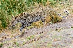 Leopard i kruger arkivbild