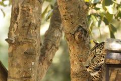 Leopard i safari Royaltyfri Fotografi
