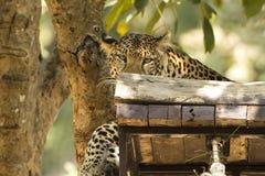Leopard i safari Arkivfoto