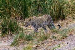 Leopard i Sydafrika i gräset fotografering för bildbyråer