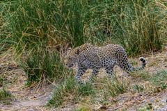 Leopard i Sydafrika i gräskrugeren royaltyfria foton