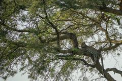 Leopard i tree arkivfoton