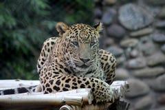 Leopard i zoo Arkivbild