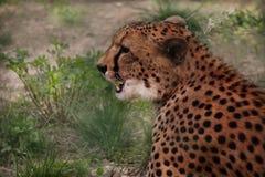Leopard in ihrem natürlichen Lebensraum in der afrikanischen Savanne lizenzfreie stockfotos